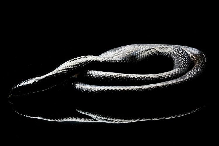Close-up of snake over black background