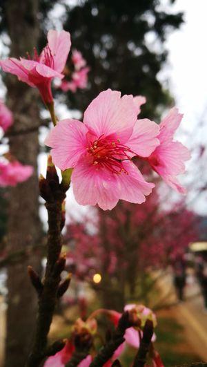 Sakura in