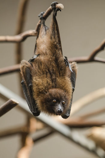 Close-up of bat hanging from branch