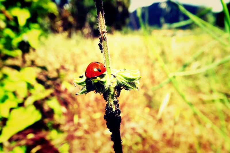 Relaxing Taking Photos Enjoying Life Macro Photography Nature_collection Hello World Beautiful Flower, Natural Color, Check This Out Nature Macro Beauty Spring 2016 Macro_collection Naturelovers Insect Insect Macro  Red Littlethings LittlePlanet Ladybug Ladybugmacro Bug Ladybug On My Roses