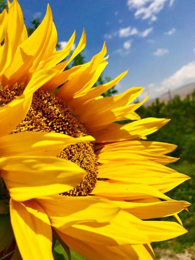 Beautiful sunflower looking above the sky Yellow Fragility Vulnerability  Flower Flowering Plant Freshness Plant Sunlight Day Nature Sunflower Flower Head Beauty In Nature Petal Close-up Pollen Sky First Eyeem Photo