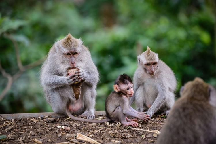 Monkeys sitting outdoors at monkey forest