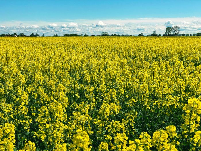 Field Colza Rapeseed Yellow Nature Sky Horizon Blue Beauty In Nature Flower Agriculture Landscape Rural Scene Land Growth Scenics - Nature Farm Flowering Plant Plant Tranquil Scene Crop  Oilseed Rape Environment Tranquility No People Outdoors Springtime