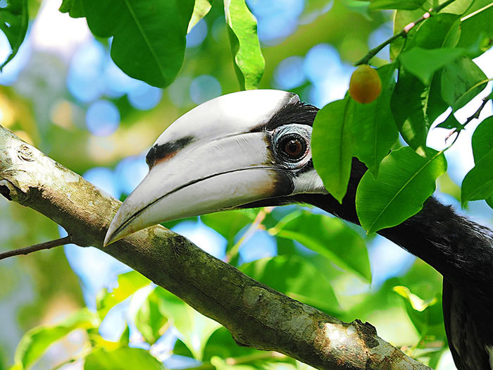 Oriental Pied Hornbill Anthracoceros Albirostris Michael Maresca Animal Themes Animal Wildlife Animals In The Wild Beak Beauty In Nature Bird Branch Close-up Day Focus On Foreground Green Color Hornbill Nature No People One Animal Oriental Pied Hornbill Outdoors Perching
