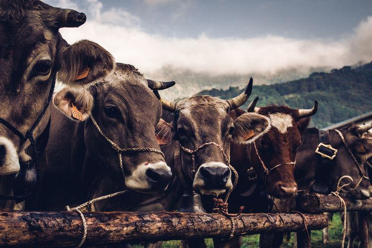 Cows fair of mountain breeders