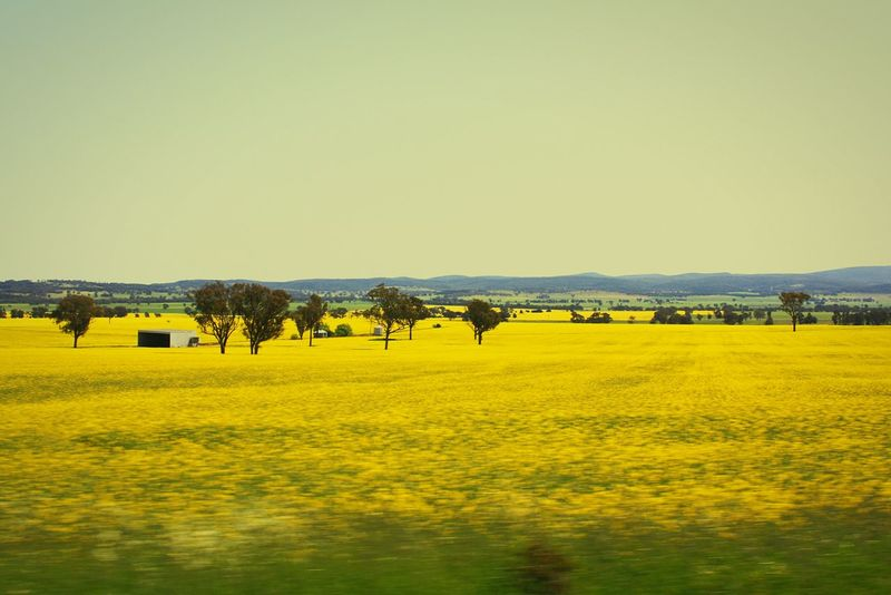 Canola Crops  Landscape #Nature #photography NSW Australia Country Life Farmland