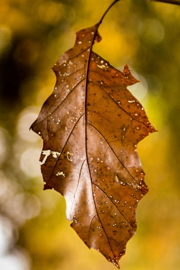 Nikon D7200 EyeEm Best Shots Eyem Nature Lovers  Nature_collection Bokeh Bokeh Photography Nikon Nikon D7200 PhotoGraphy Autumn Beauty In Nature Change Close-up Day Dry Focus On Foreground Fragility Leaf Leaves Maple Maple Leaf Nature Nikonphotographer No People Outdoors Water