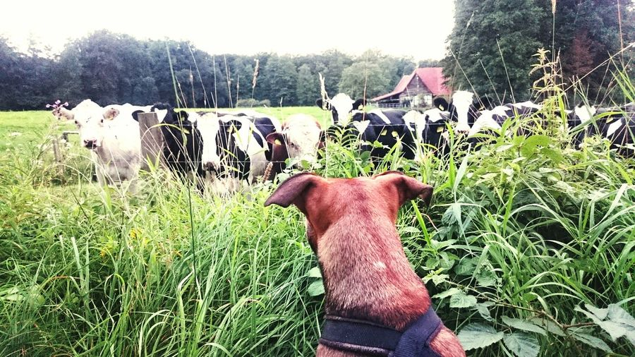 Dogslife Dogphoto Dogs Life Dogmodel Doglovers Cow Cows Cows In A Field Hund Kühe