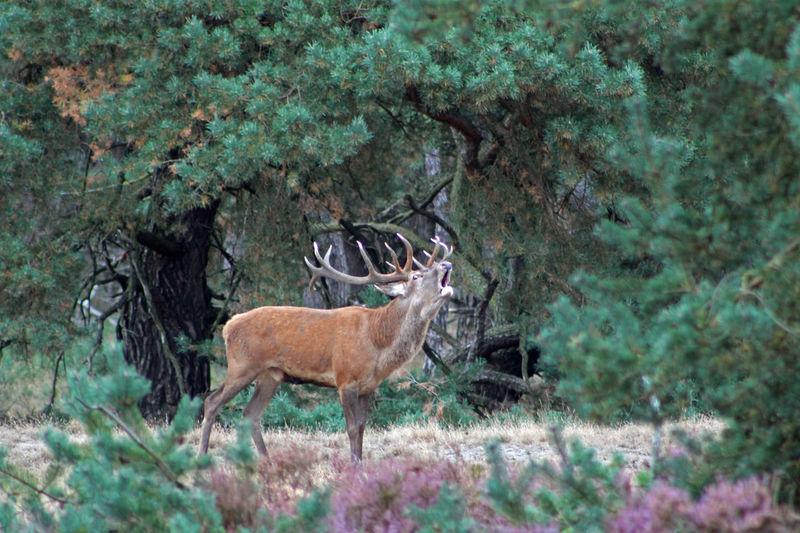 Bomen Edelhert Groot Gewei Heide Herten Burle Hoge Veluwe Park September