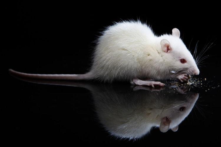 Side view of white rat feeding against black background
