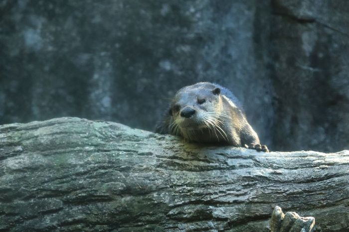 Otter peering over log River Otter Animal Wildlife Animal Themes Animals In The Wild Animal One Animal Water Underwater Mammal Vertebrate Nature No People Day Outdoors Portrait Looking At Camera