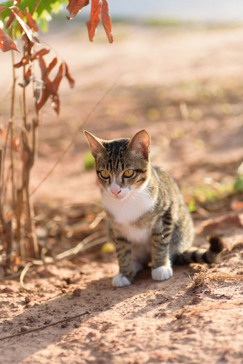 Cute Cat Cute Pets Kitty Sitting Thai Cat Animal Themes Cat Day Domestic Animals Domestic Cat Feline Ground Kitten Looking At Camera Mammal Nature No People One Animal Outdoors Pets Portrait Sitting Vertical