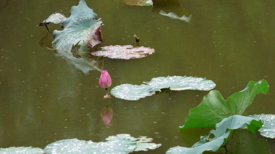 Japan Lotus