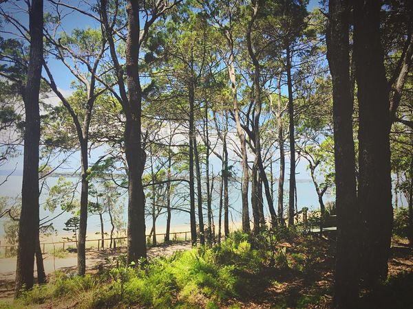 Coochiemudlo Island Forest Tree Trunk Tranquility Growth Beauty In Nature Nature Outdoors Scenics Sunlight No People Tree Branch Birch Tree Lush - Description Tree Area Landscape Sky Day Water Beach Tranquil Scene Sea