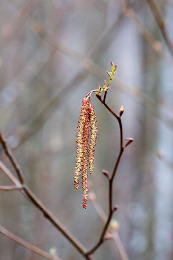Plant Growth Close-up Day Flower Fragility Beauty In Nature No People Flowering Plant Outdoors Freshness Vulnerability  Twig Tranquility Catkin