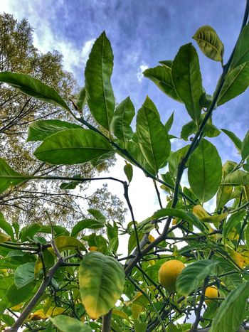 Outdoors Beauty In Nature Citrus Fruit Freshness Close-up
