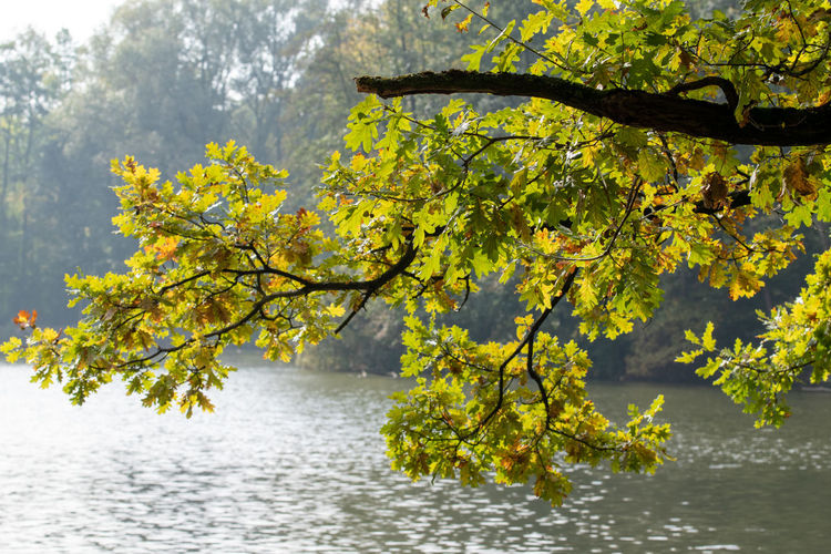 Tree with yellow leaves in lake