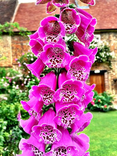 Foxgloves (Digitalis) Beauty In Nature Blooming Botany Close-up Day Flower Flower Head Focus On Foreground Fragility Freshness Growth In Bloom Nature No People Outdoors Petal Pink Color Plant Purple Selective Focus