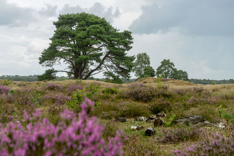 Leuvenumse beekroute is a hiking route in Hulshorst, Nunspeet. Hulshorst Leuvenumse Beekroute Nature Netherlands Nunspeet The Netherlands Veluwe Beauty In Nature Beauty In Nature Cloud - Sky Heather Hiking Trail Holland Landscape Nature No People Outdoors Sky Tranquil Scene Tranquility