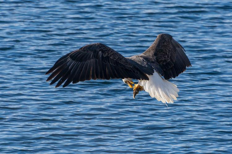 Bald eagle landing over sea
