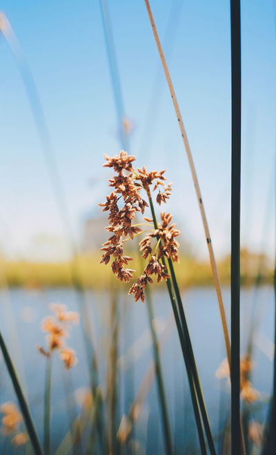 Beauty In Nature Close-up Day Flower Flower Head Focus On Foreground Fragility Freshness Grass Growth Lake Nature No People Outdoors Plant Sky Stem Tranquility Water