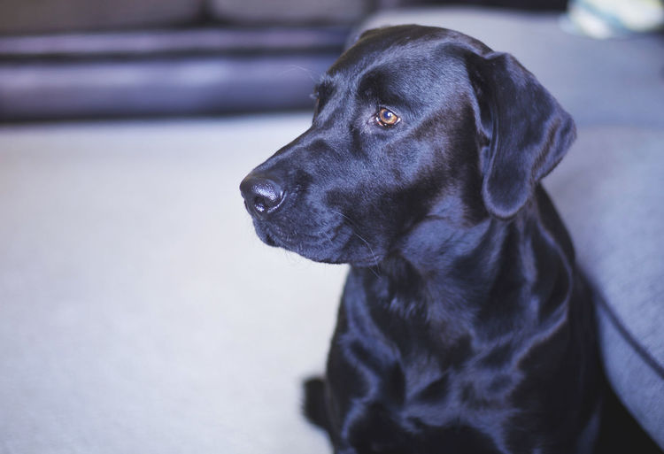 Animal Themes Black Color Black Labrador Close-up Day Dog Domestic Animals Focus On Foreground Indoors  Mammal No People One Animal Pets Sitting