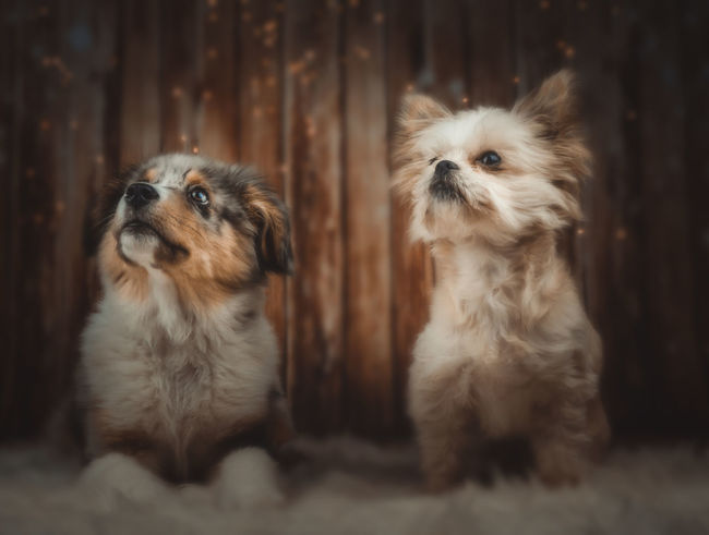 Christmas Dogs Happiness Animal Hair Animal Themes Aussie Close-up Day Dog Domestic Animals Friendship Indoors  Mammal No People Pets Shepherd Sigmaart Sony A6000 Togetherness