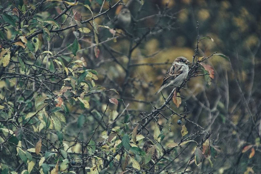 Niklas Storm Okt 2018 Autumn Autumn Collection House Sparrow Sparrow Perching Branch Trapped Tree Animal Themes Close-up Songbird  Fall