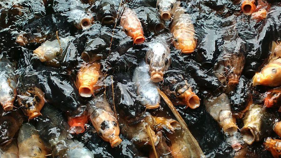 Full frame shot of koi carps swimming in pond