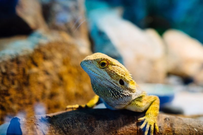 蜥蜴 EyeEm Selects Reptile Animal Animal Themes Animal Wildlife Animals In The Wild Lizard Vertebrate One Animal No People Solid Animal Body Part Focus On Foreground Close-up Bearded Dragon Animal Head  Nature Day Rock Rock - Object Outdoors