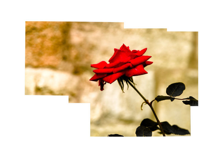 rose Rose - Flower Red Plant Flower Flowering Plant Beauty In Nature Petal Transfer Print Vulnerability  Fragility Nature Close-up Flower Head Auto Post Production Filter Inflorescence Freshness No People Focus On Foreground Plant Stem Selective Focus Outdoors