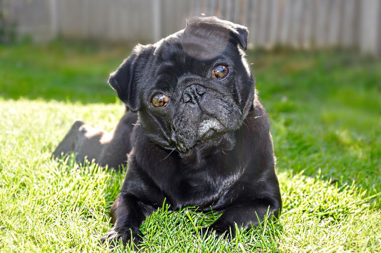Head tilt Dog Cute Pets Pug Pugs Cute Pug Life  Nature On Your Doorstep Glitch Summer Dogs Creative Light And Shadow Pets Corner Pet Photography