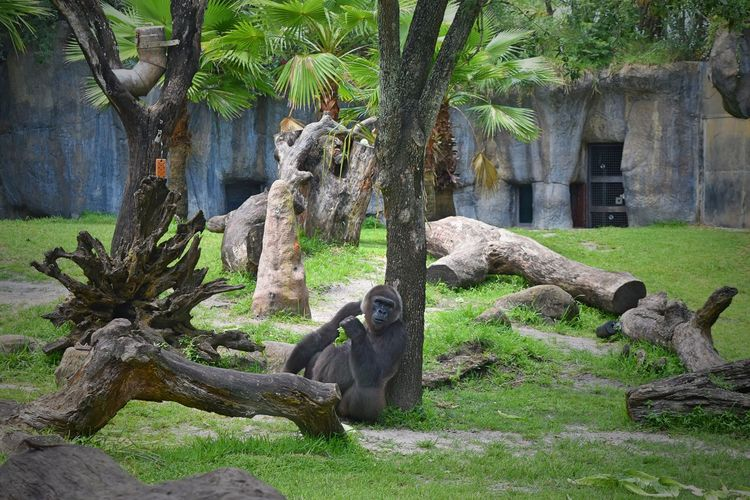 Silverback Gorillas Animal Themes Animal Wildlife Animals In The Wild Day Grass Mammal Nature No People One Animal Outdoors Silverback Gorilla Tree