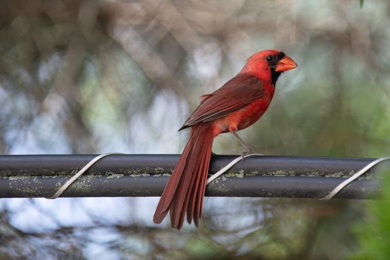 Close-up of red bird perching in forest