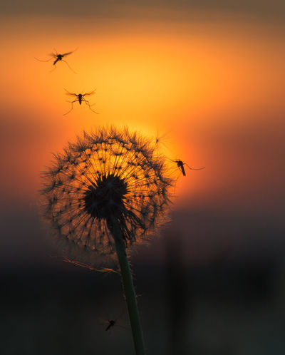 mosquitos at sunset Beauty In Nature Cloud Cloud - Sky Dramatic Sky Flying Focus On Foreground Fragility Growth Idyllic Low Angle View Nature No People Orange Color Outdoors Plant Scenics Sky Stem Sun Sunset Tranquil Scene Tranquility