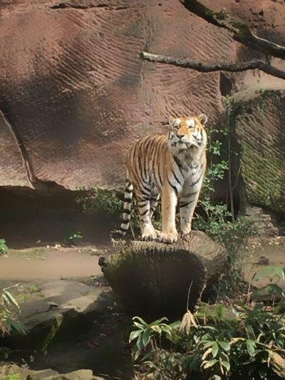 Proud Tiger.