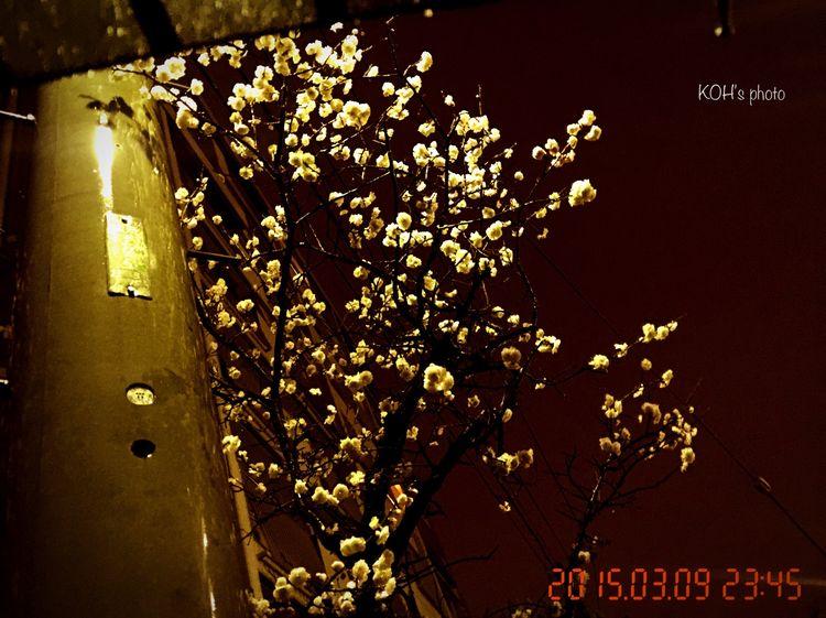 自宅裏から始まる公園路の入口脇 電柱に隠れるよに梅の木がある 紅白の花を毎年見られるが 今年は白だけ 梅香も薄い だけど雨の夜でもちゃんと咲いてる Flower Flowers 蛍光灯下で御免