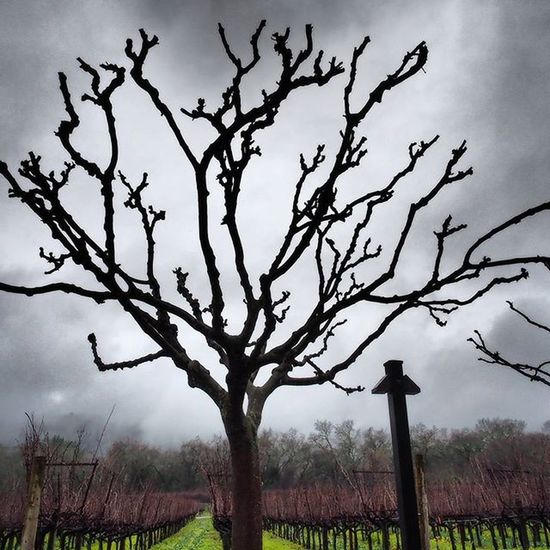 Saturday was Grey and Overcast in Napa Valley, with occasional Rain but little wind. It didn't stop us, or many other people, from visiting Vineyards  and the little towns along the 29. This Leafless Tree cut a Spooky Silhouette against the clouds. Getolympus Olympusomdem1 Omdem1 Zuikodigital Dramatictone NapaValley Ñapa California Centralcalifornia Travel Vacation West Cloudyday Cloudysky Nature Outside Explore foggy fog