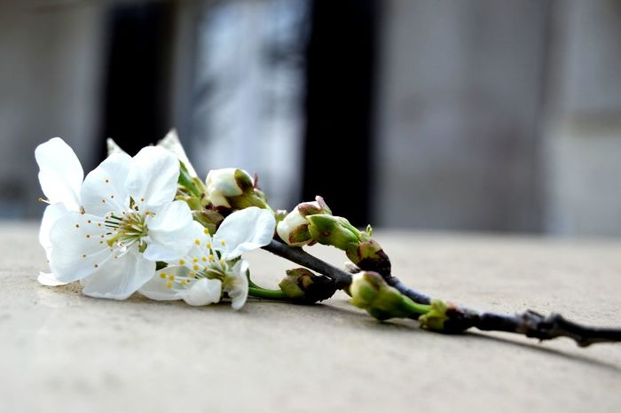 First Eyeem Photo Springtime Flower Nature Beautiful Nature San Bartolomeo Italy White Blackcherry