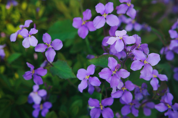 Beauty In Nature Blooming Day Flower Flowers Green Color No People Orychophragmus Violaceus Outdoors Petal Plant Purple Spring Flowers Springtime Violet Colour