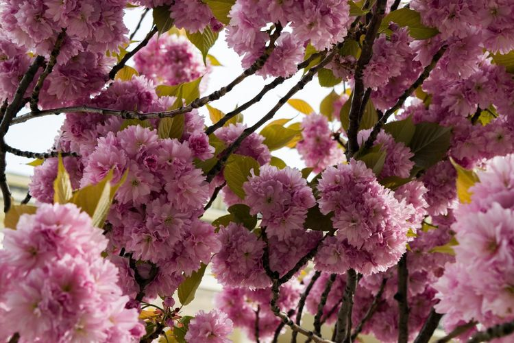 Tree Flower Flower Head Branch Springtime Pink Color Blossom Petal Close-up Sky In Bloom Blooming