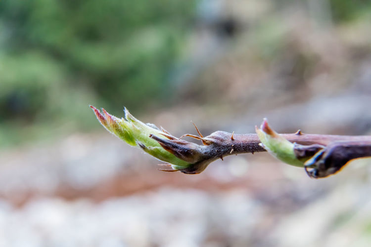 Close-up of buds against blurred background