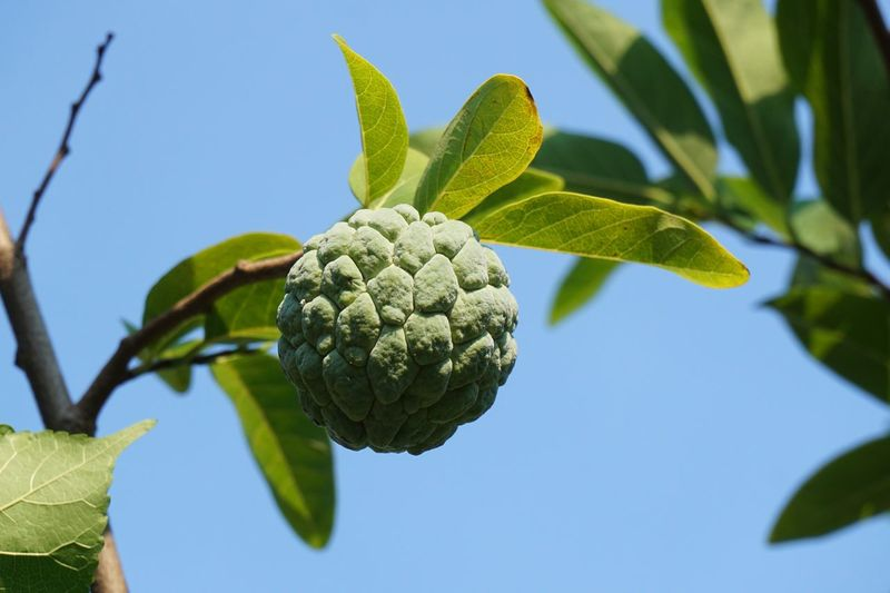 Sugar Apple Blue Clear Sky Close-up Day Food Food And Drink Freshness Fruit Green Color Growth Healthy Eating Leaf Low Angle View Nature No People Outdoors Plant Plant Part Ripe Sky Sugarapple Tree Wellbeing