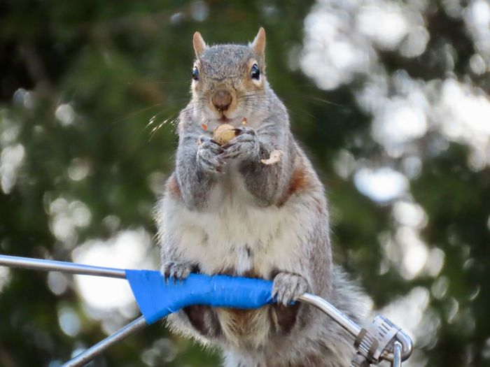 Grey squirrel balancing on a metal rod eating a peanut 🥜 looking at the camera selective focus outdoors EyeEm nature lover Animal Wildlife One Animal Rodent Close-up No People