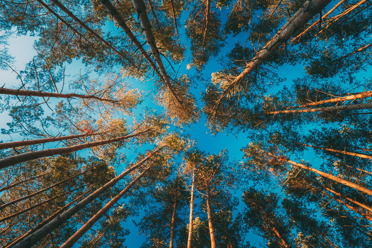 Canopy Of Tall Pine Trees. Upper Branches Of Woods In Coniferous Forest. Low Angle View Tree Blue Sky Nature Trunk Forest Tree Canopy  Pine Pine Tree Branches Woods Coniferous Tree Green Day Beauty In Nature Summer Autumn Growth Angle 17.62°