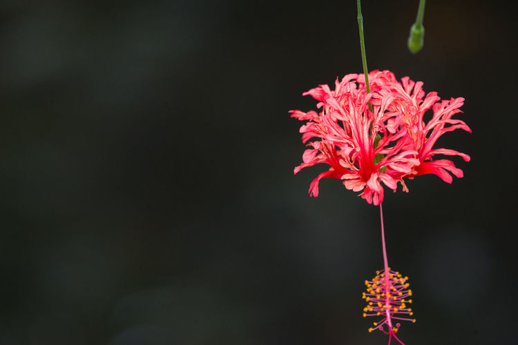 Close-up of hibiscus flower blooming at park