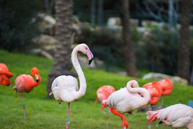 Flamingos on a field