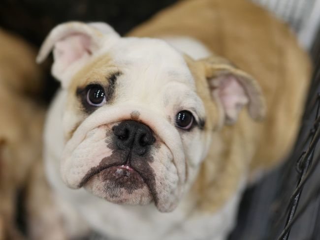 Help me please Sad Sadness Help Bulldog Dog Pets Bulldog Domestic Animals Animal Looking At Camera Portrait One Animal English Bulldog Animal Themes Mammal Close-up Cute No People Puppy Outdoors Protruding Day