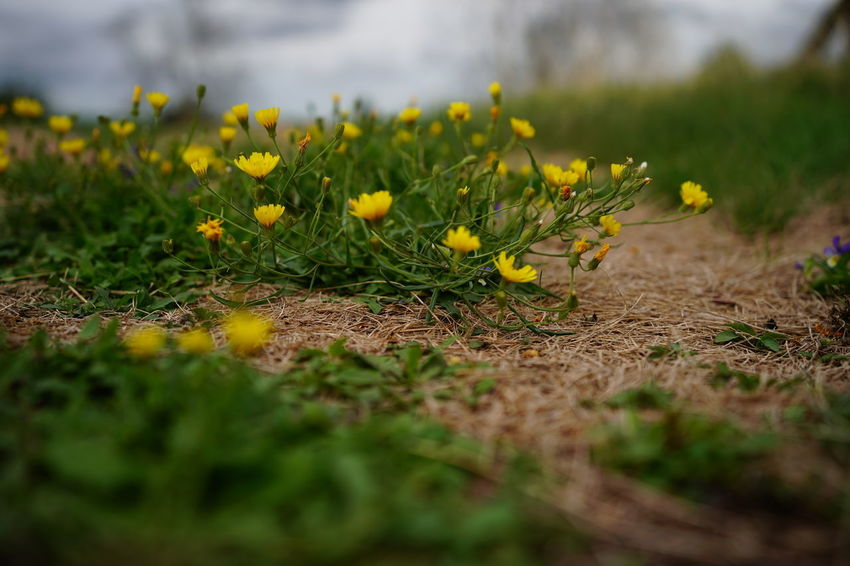Beauty In Nature Close-up Day Field Flower Flowering Plant Fragility Freshness Grass Green Color Growth Land Nature No People Outdoors Plant Selective Focus Surface Level Vulnerability  Yellow