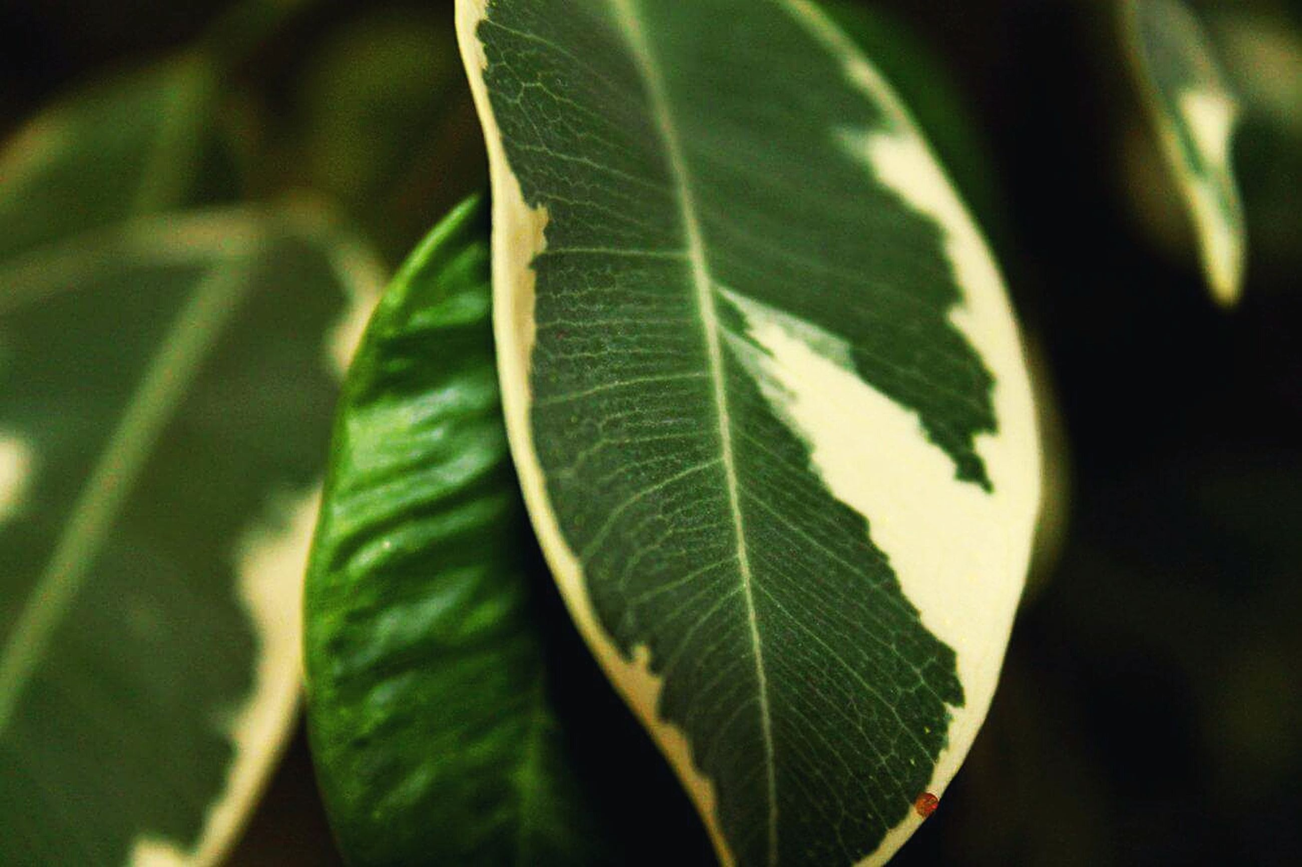 leaf, green color, close-up, leaf vein, growth, focus on foreground, plant, nature, beauty in nature, selective focus, natural pattern, leaves, green, outdoors, no people, day, freshness, tranquility, stem, fragility